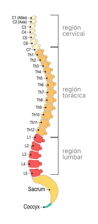Representación de las zonas de la columna vertebral: región cervical, torácica y lumbar.